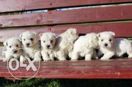 West Highland White Terrier from Europe