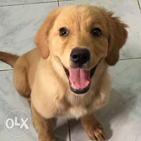 golden retriever جولدن ريتريفر بيور pure 6 أكتوبر -  8