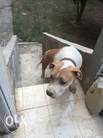 Pitbull 6 months for sale المعادي -  5