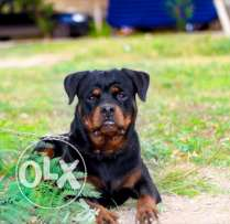 Rottweiler Male - King Vom House Simba for Mating