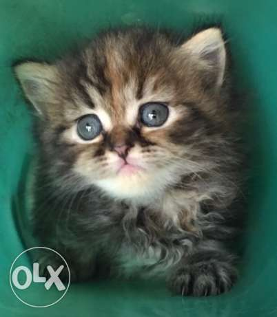 قطه بنت ٤٥ يوم. Cute kitten up for sale