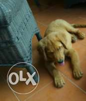 Pure female golden puppy full vacctination