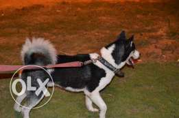 Male husky for mating only للزوااااج فقط