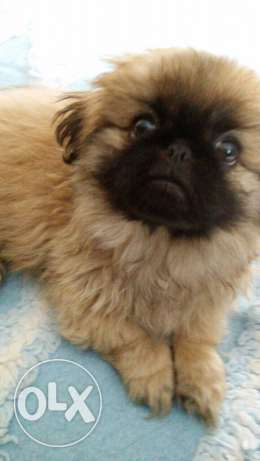 female Pekingese puppy شيراتون -  1