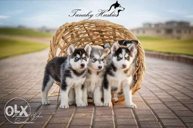 Husky puppies for sale pure breed مصر الجديدة -  5