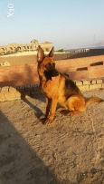 15 Months old GSD female for sale