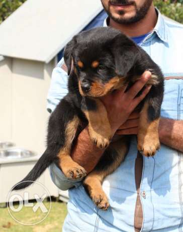 Rottweiler Females for Sale