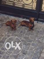 Two Dachshund dogs male & female for sale 2.5 years 4000 EGP each dog