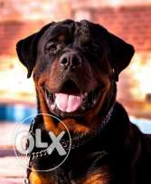 Rottweiler male 20 month imported from Russia available for sale