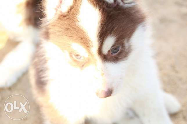 husky puppies high qualit مدينة الرحاب -  5