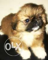 Female pekingese puppy