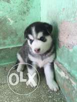 Huskiy puppies