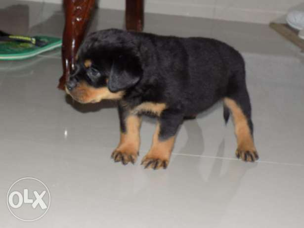 Available for sale Rottweiler puppies