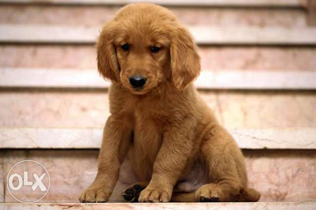 puppies golden جرو جولدن  سلاله اصيله