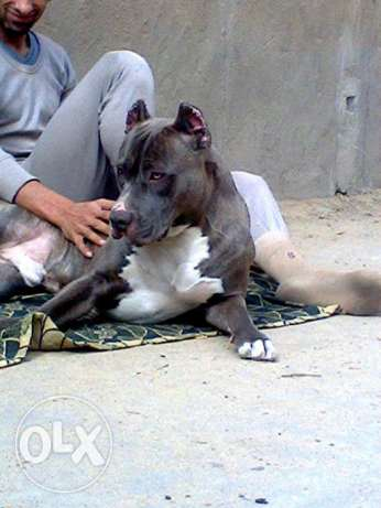 Dog male Amaricn Pitbull Standerd Brindle for marriage (للزواج فقط) وسط القاهرة -  2