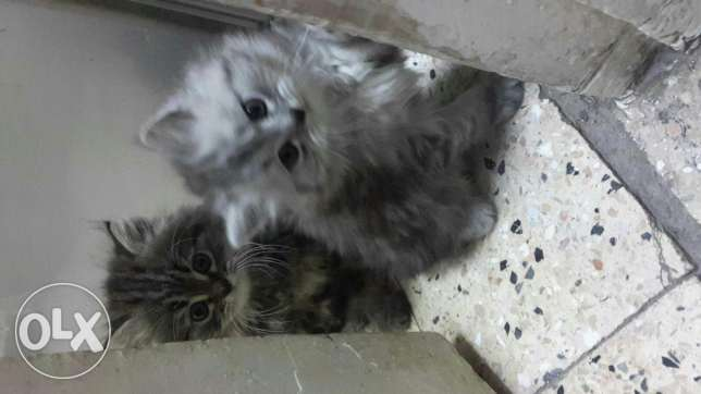 2 cats for sale الوراق -  1