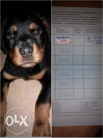 I'm selling a puppy Rottweiler, girl. Age 3 months and 2 weeks.