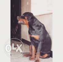 Female Rottweiler For Sale