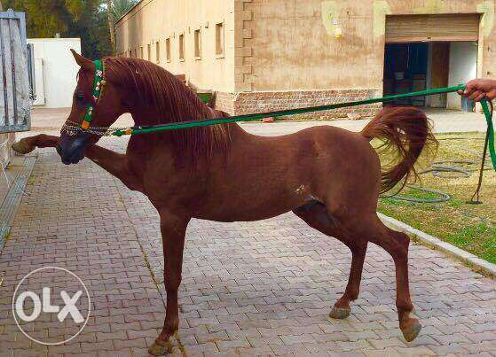 arabian horse for sale Adl son / حصان عربي للبع ابن عدل و حفيد اخناتون