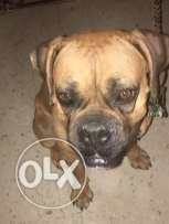 Boxer Female for sale
