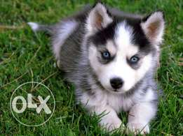 searching for husky puppy
