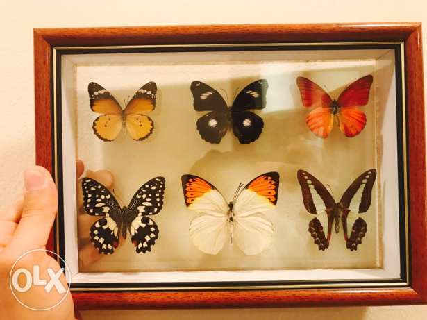 Rare types of butterfly's in a portrait