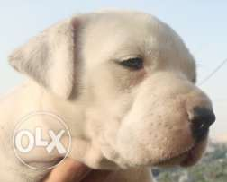 pitbull 45 days for sale