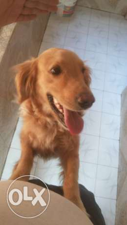 Golden retriver for sale جولدن للبيع
