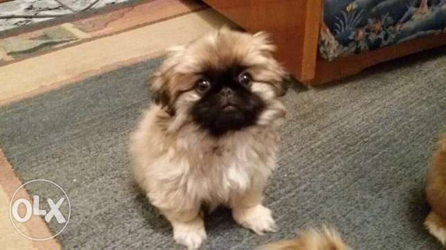 female Pekingese puppy شيراتون -  4