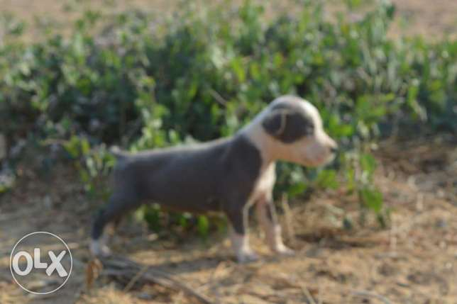 Pitball puppies for sale مدينتي -  2