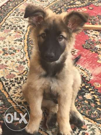 German shepherd طوخ -  2