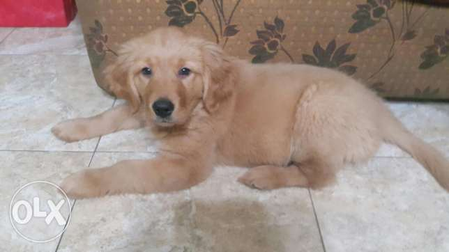 Pure 3 month old male Golden Retriever puppy