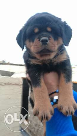 Puppies for sale الهرم -  2