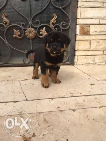 For sale male Rottweile شيراتون -  1