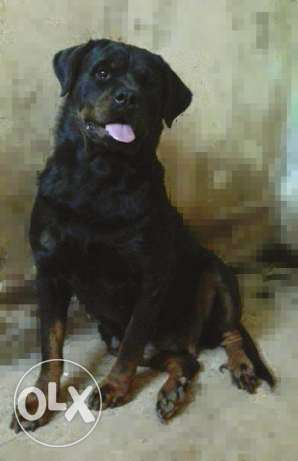 Rottweiler for sale, Female دار السلام -  2