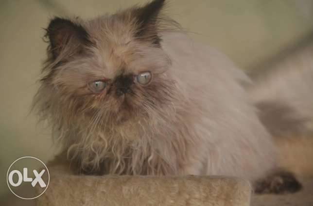 Himalayan cats full pure pickey face مدينة نصر -  2