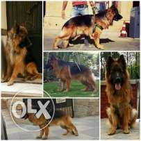 pure german dogs for sale 5500 le 35 days