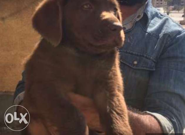 The most purest and cheapest Chocolate Lablador لبلادور puppy 41 days