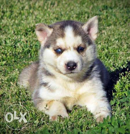 بنت هاسكي Female Husky Puppy