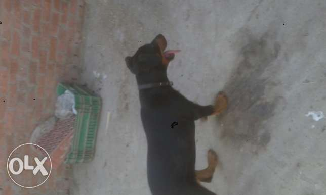 dog for sell