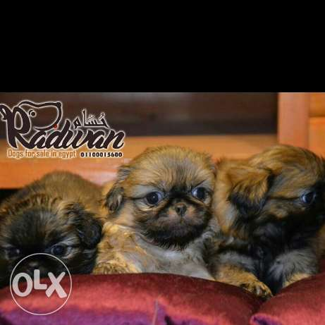 Pikinwa puppies for sale