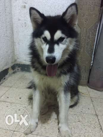 ...husky pure male almost one year المعادي -  2