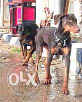 Doberman pinsher female
