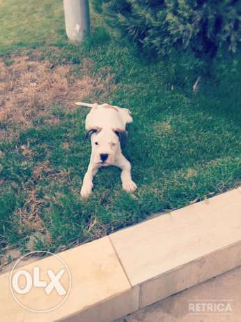 For Sale Beautiful Pure White Boxer Puppie مصر الجديدة -  5