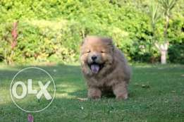 Chow chow puppies for sale male champion bloodline