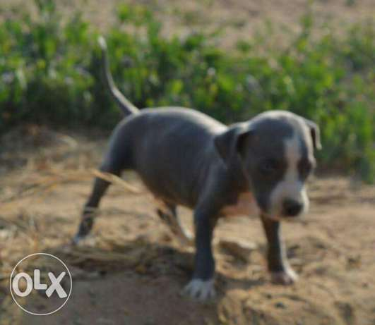 Pitball puppies for sale مدينتي -  1