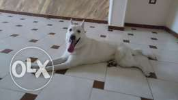 White German Shepherd (male) for mating