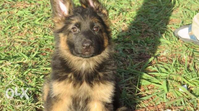 High quality german shepherd 2 month long hair puppies
