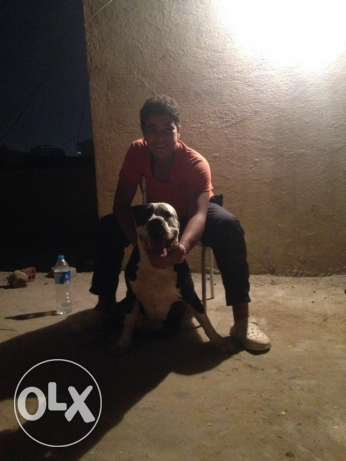 male American pitbull for sale شيراتون -  1
