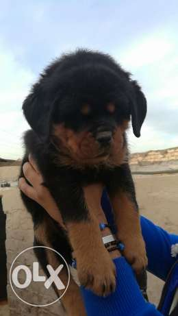 Puppies for sale الهرم -  1